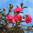 キンカン、サザンカ、ビワの花です