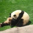 パンダ可愛いね
