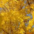 イチョウの黄葉(ドイツ公園) (17-1215)