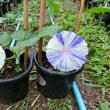 青丸葉青紫条斑点絞丸咲
