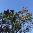 ライラックが咲き始めました
