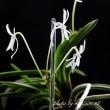 過去開花の富貴蘭「紀州甲龍」の花