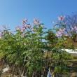 皇帝ダリアの花が真っ盛り