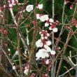 自宅白梅開花