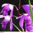 シラン 〈紫蘭〉 弁天ふれあいの森公園