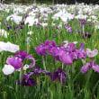 袖ケ浦公園の花菖蒲