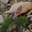 白馬岳登山 高山植物
