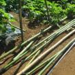 5月20日・ズッキーニ初収穫と・・・