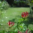 グロリオーサも咲いてます。