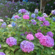 智積院のアジサイは梅雨の晴れ間に輝いて咲いていた
