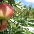来週からりんごの収穫始まります!~さんさ~