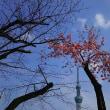 桜 探鳩 - 隅田川 右岸隅田公園 STARBUCKS珈琲店