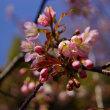 此の時期の桜