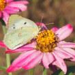 公園のジニアと蝶