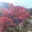 朝明の紅葉