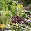 土の中の白菜