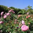 うつぼ公園 バラ