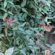 四季咲きバラ「クイーンエリザベス」の定期的剪定