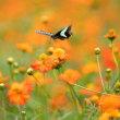 お花畑にアゲハチョウ