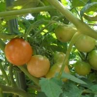 母の庭の花々~ミニトマト