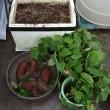 サツマイモは、苗床を片付け始めました