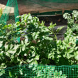 2018年 菜園近況「庭の芋類、順調に成長」