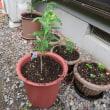 ヤマユリ到着、鉢植え