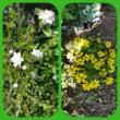 庭の夏野菜と花