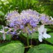 高ボッチ高原・鉢伏山で最近咲いている花 タマアジサイ(玉紫陽花)
