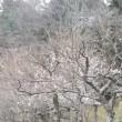 梅一輪;鎌倉中央公園