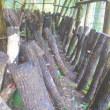 シイタケ収穫