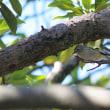 樹上のキクイタダキ(3)