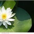 スイレン 〈睡蓮の白い花〉