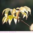イロハモミジ 秋に新緑