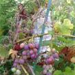 ぶどうの収穫 で一工夫