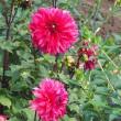 散歩道に咲いた赤いダリア