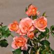 コンクールのバラ 2718