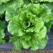 レタス栽培、植付と成長中の様子