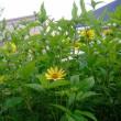 庭で咲いている花など