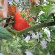 トマトが色づきました