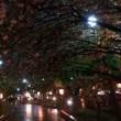 今年の桜、造幣局通り抜け 終了です!