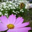 コスモスの花にマルハナ蜂