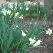 白椿の花&お茶会