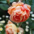 バラのある暮らし。