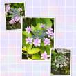 紫陽花 相模原北公園