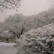 < こんな いい歌があったんだ!【冬桜】 絶対聞いてみて。>