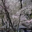 貞麟寺・大出公園の桜(白馬村)