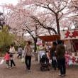 上越後の高田の桜