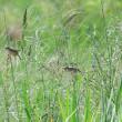 2羽のセッカが、田んぼの畦に飛んでいった。