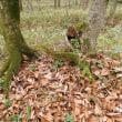おもしろい木を見つけた イタヤカエデ